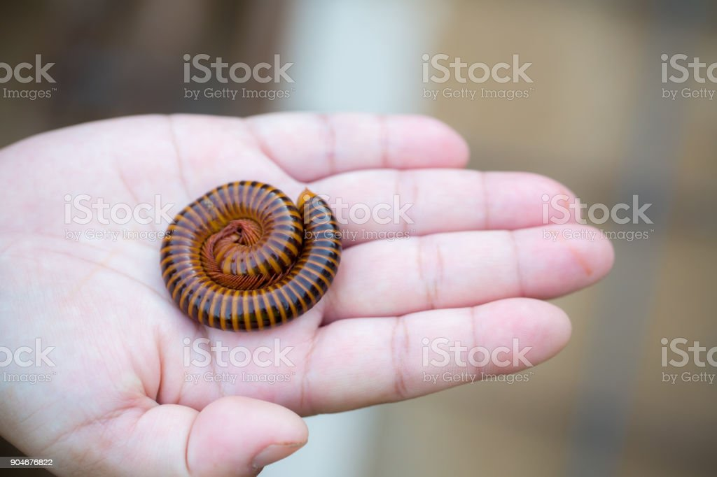 The millipede in hand.Macro of orange and brown millipede on hand stock photo
