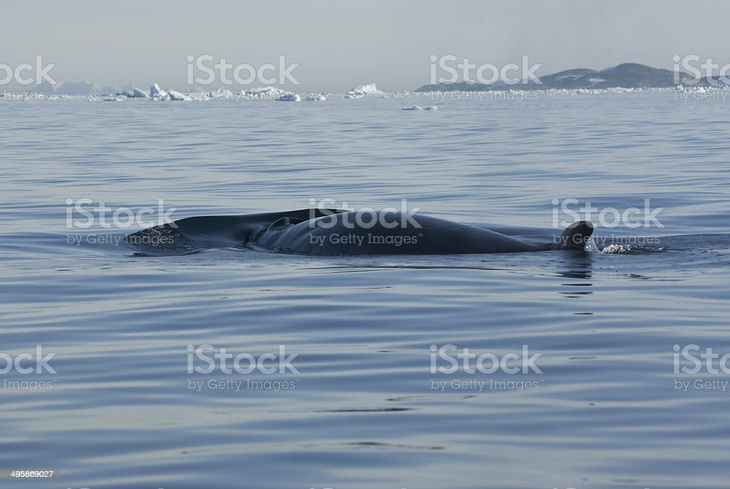 The minke whale in the Southern Ocean-2. stock photo