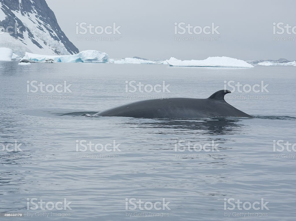 The minke whale in the Southern Ocean-3. stock photo