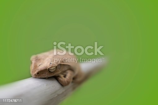 The Mission golden-eyed tree frog(Trachycephalus resinifictrix) is a large tree frog in thailand.