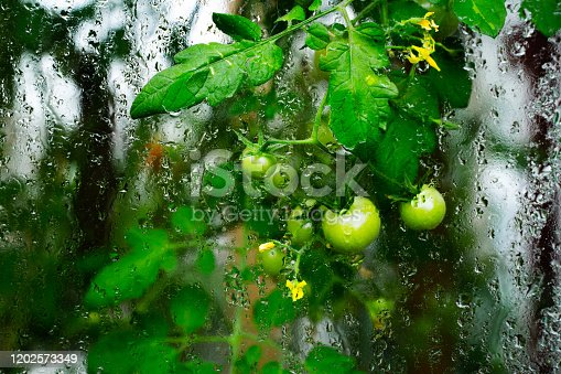 Growing green tomatoes through the misted and wet glass of a greenhouse.