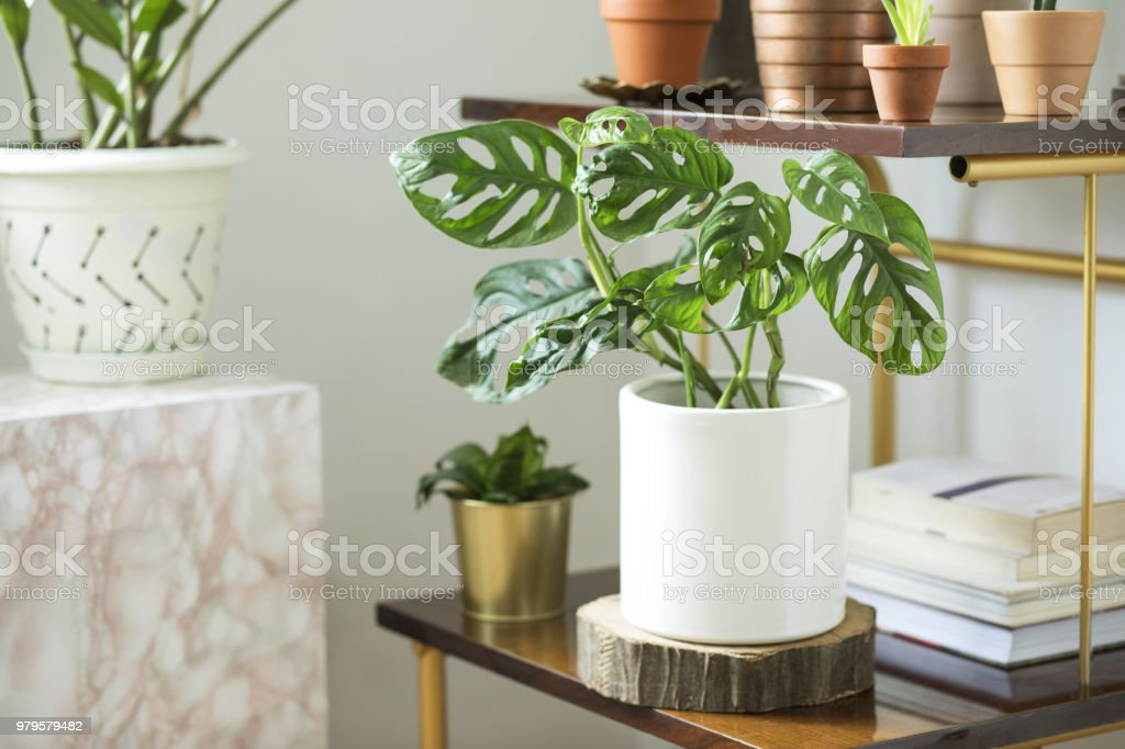 The modern room interior with a lot of different plants in design pots on the brown vintage shelf. Home interior of nature lover. stock photo