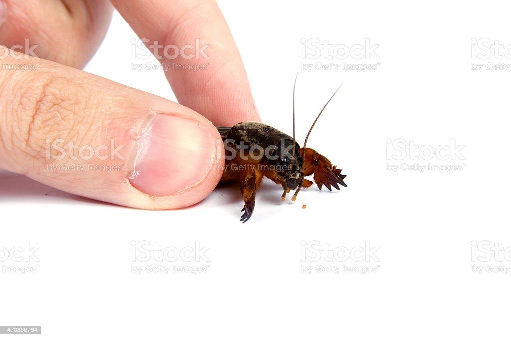 the mole cricket handling stock photo