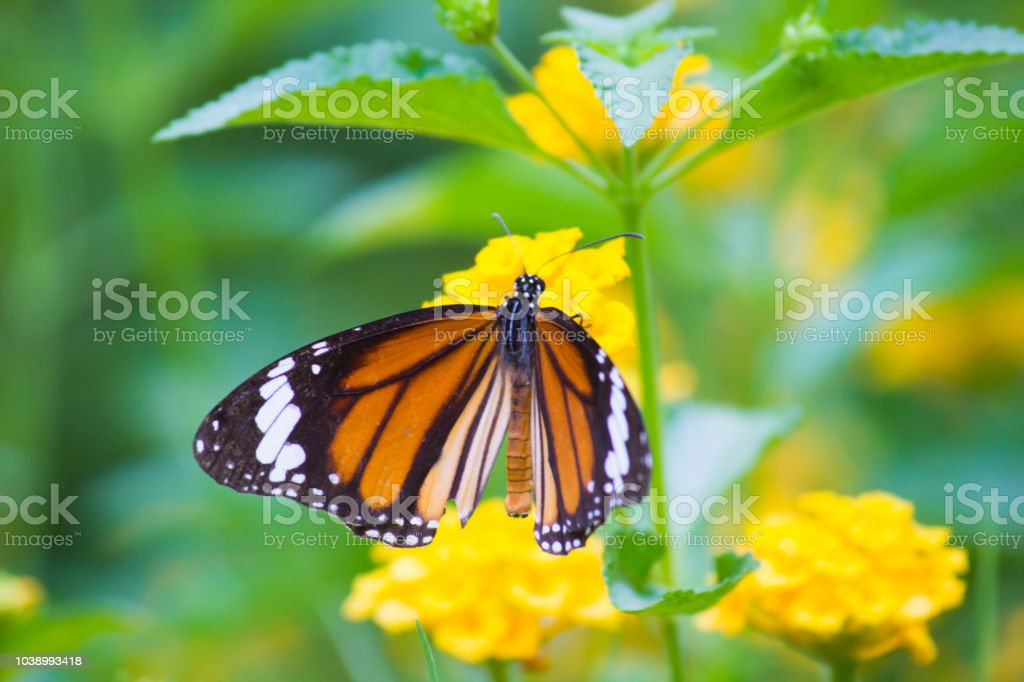 The Monarch Butterfly stock photo