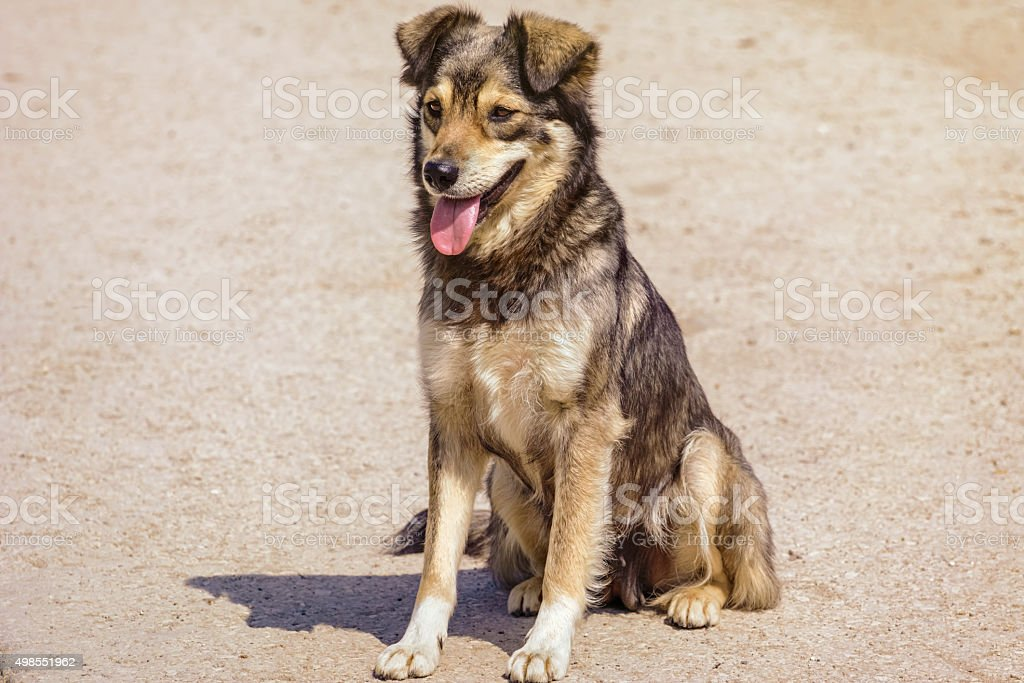The Mongrel Dog stock photo