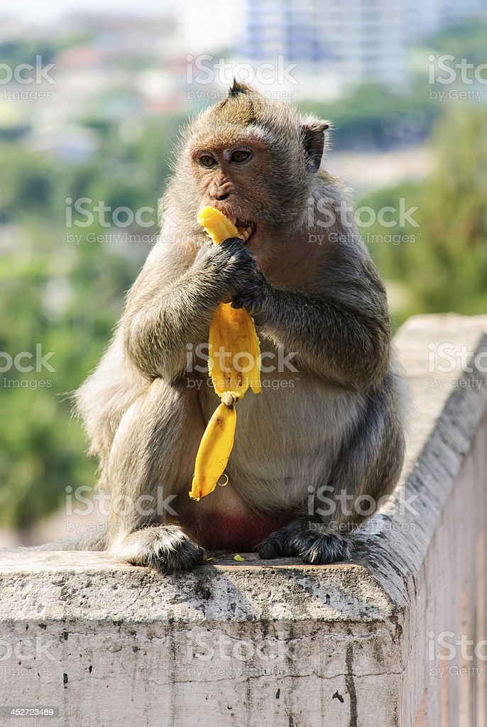 The monkey is eating a banana royalty-free stock photo