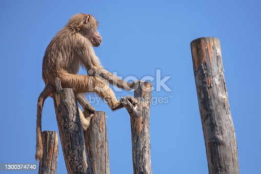 the monkey sits on the wooden stumps. blue sky background