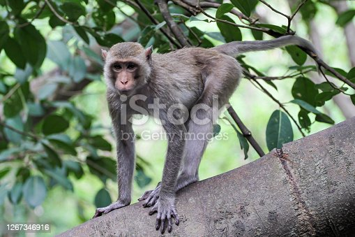 istock The monkey stop on big branch tree in nature at thailand 1267346916