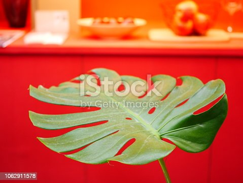 175407085istockphoto The monstera leaf in red room 1062911578