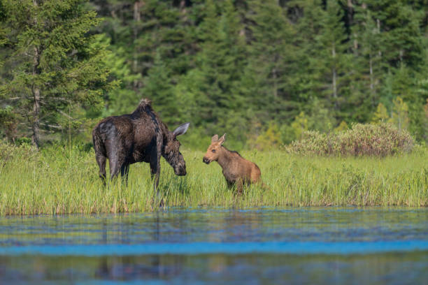 The Moose Greeting stock photo