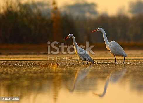 egrets in beautiful golden morning.
