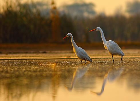 egrets in beautiful golden morning.
