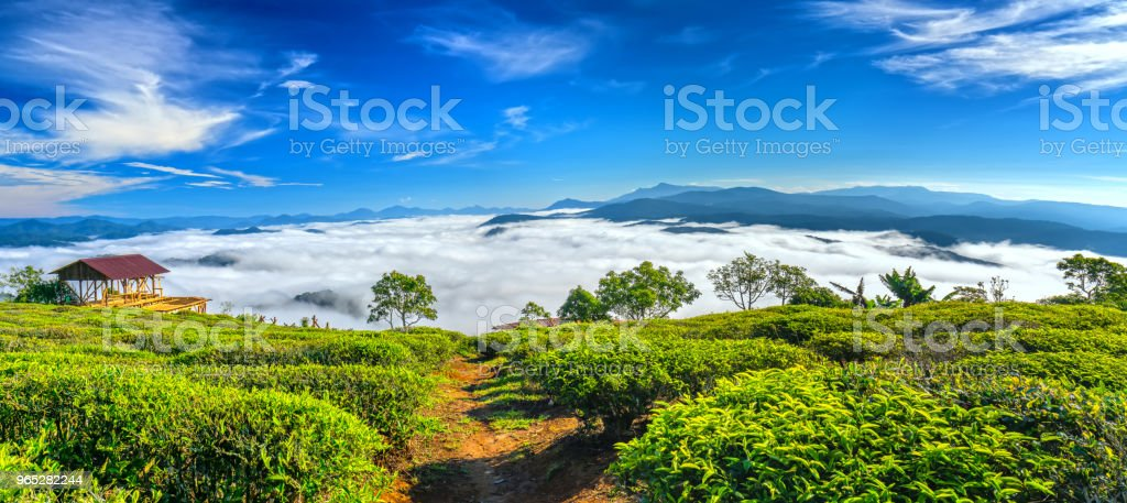 The morning scenery on the hillside of tea planted zbiór zdjęć royalty-free