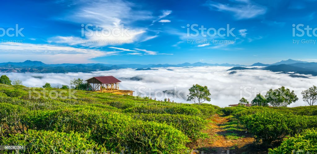 The morning scenery on the hillside of tea planted royalty-free stock photo