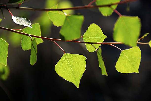 The morning sun shining through Fremont Cottonwood leaves. A dramatic photograph of red branches and green leaves glowing with the morning sunlight.Taken in Sabino Canyon, Tucson, AZ. cottonwood tree stock pictures, royalty-free photos & images