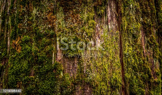 A close up view of a tree with a huge crack running down the middle of it is covered in various shades and shapes of moss and lichen