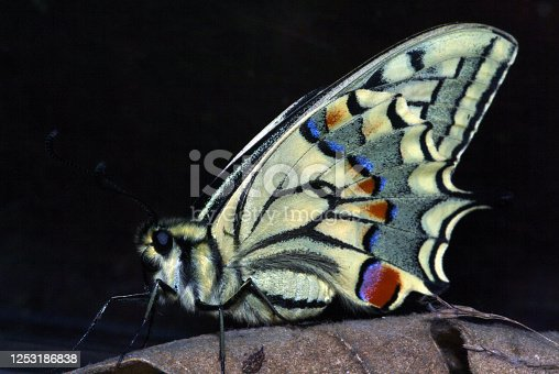 The most beautiful butterfly in Spain and Europe, Papilio macaon Espinosa de los Monteros. Cantabrian Mountains