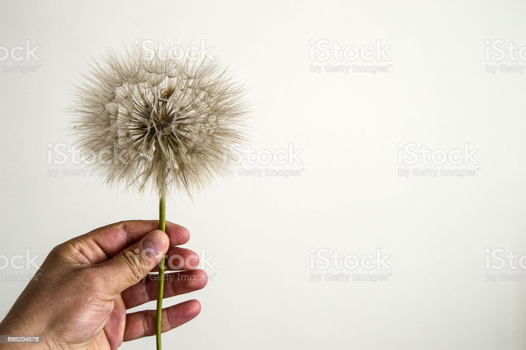 The most wonderful looking Devil Hair (Dandelion) Pictures of plants, stock photo