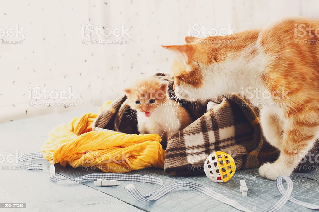 The mother cat comes to kitten stock photo