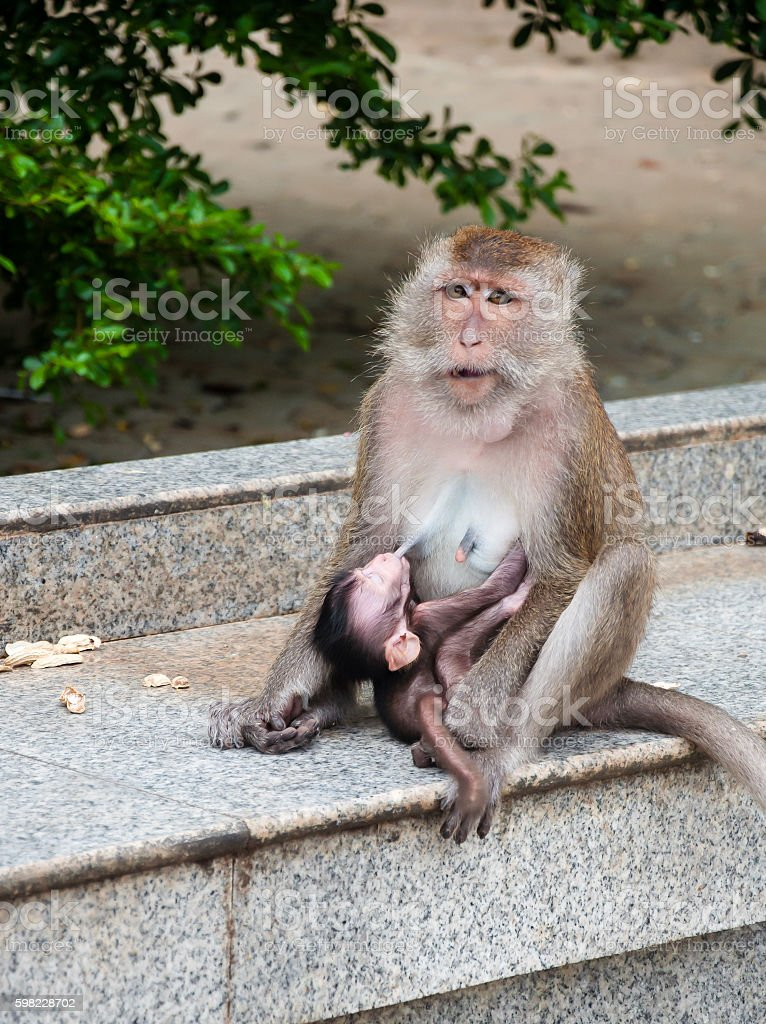 the mother monkey feeding milk food baby foto royalty-free