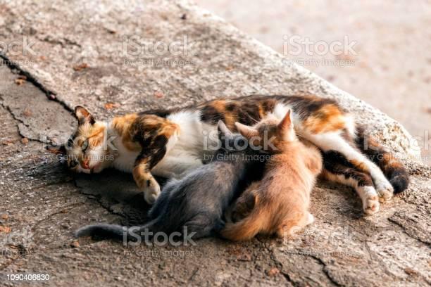 The mother stray or feral cat breastfeeding her kittens on the feral picture id1090406830?b=1&k=6&m=1090406830&s=612x612&h=i0okpnyozabid5m4ubw1mb7wpovbo4 srnuhpug8vfi=