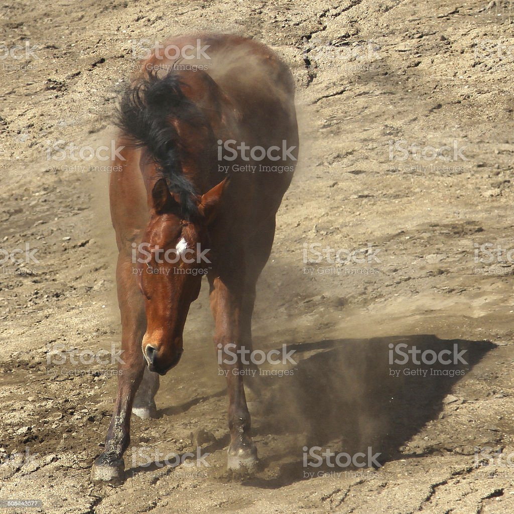 The motion of a bay horse shaking off the dirt. stock photo
