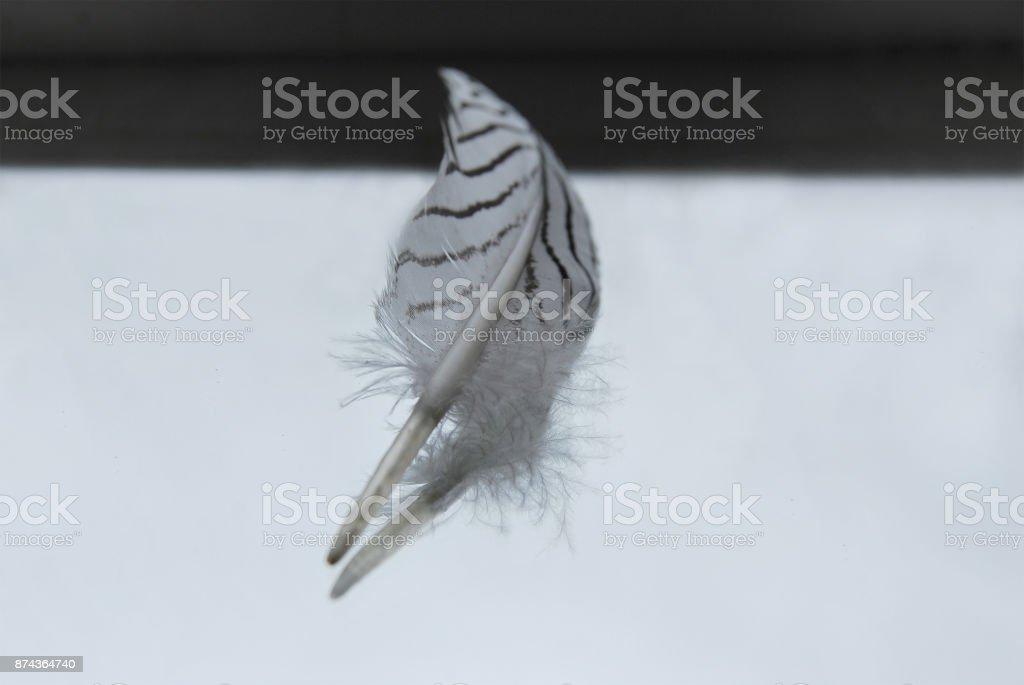 The motley white-black feather of a pheasant stock photo