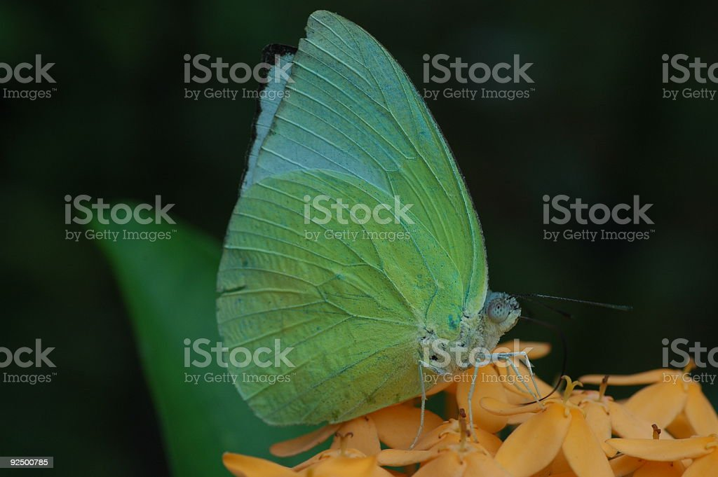 The Mottled Emigrant royalty-free stock photo
