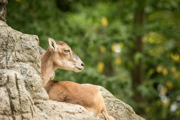 der mufflon (ovis orientalis orientalis orientalis), der sich auf felsen im zoo basel ausruhen lässt, grüne blätter im hintergrund, niedliches säugetier, waldhörntiere im naturlebensraum, säugetier-porträt - steinbock mann stock-fotos und bilder