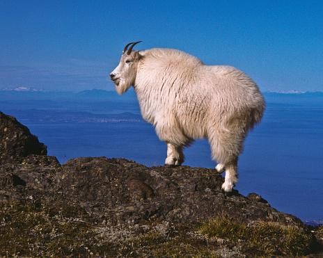 Mountain Goat On A Ridge Stock Photo - Download Image Now