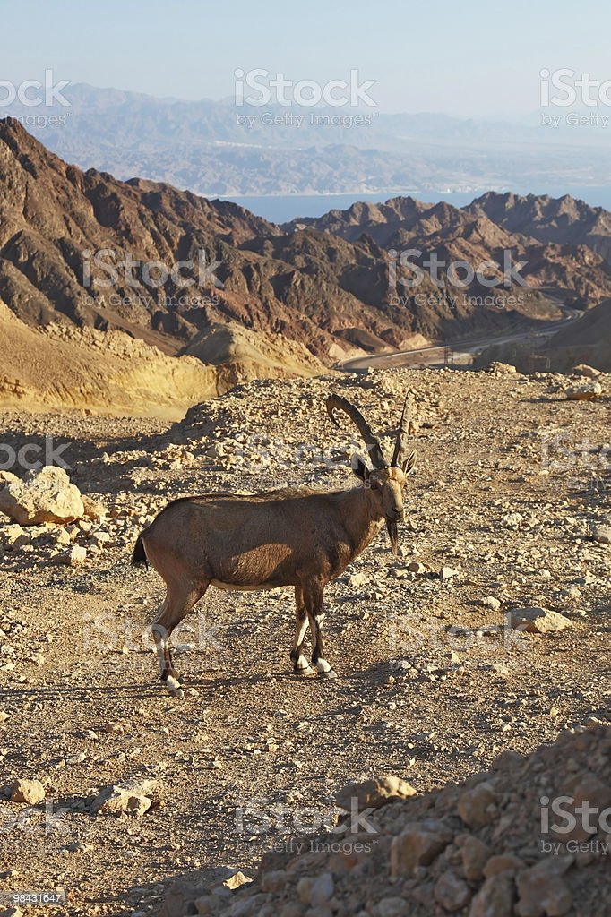 The mountain goat in stone desert. Israel royalty-free stock photo