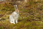 The mountain hare from the north of the Finland.