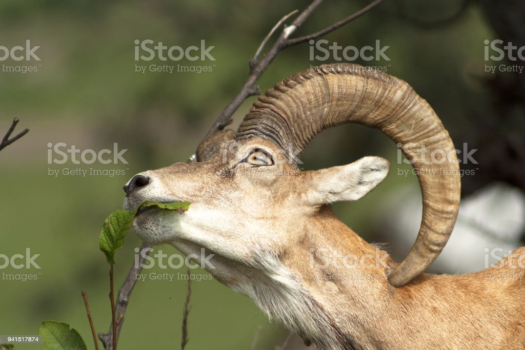 The mountain ram plucks leaves from a bush stock photo