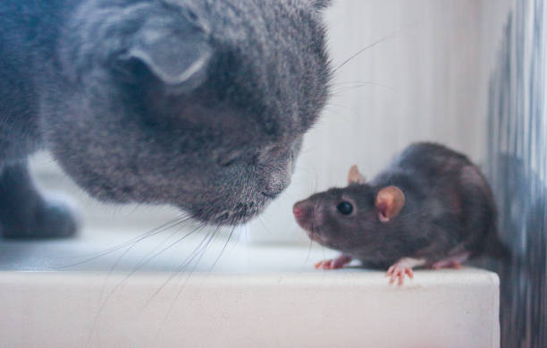 The mouse the rat is cute and the cat getting to know picture id1140449586?b=1&k=6&m=1140449586&s=612x612&w=0&h=i45hywrrf5hbuhtql5f1thdcckrkl 08tjkmbthw 3o=