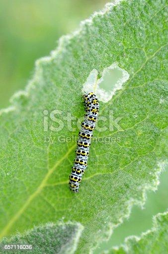 istock The mullein moth (Cucullia verbasci) caterpillar on food plant. 657116036