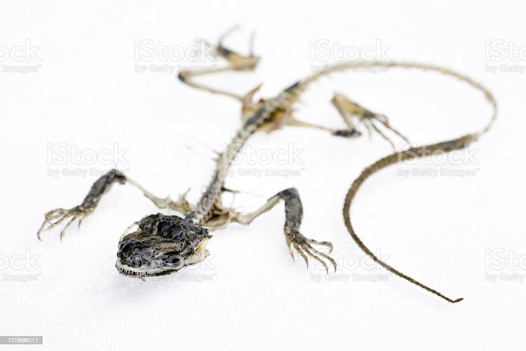 The Mummy Lizard royalty-free stock photo