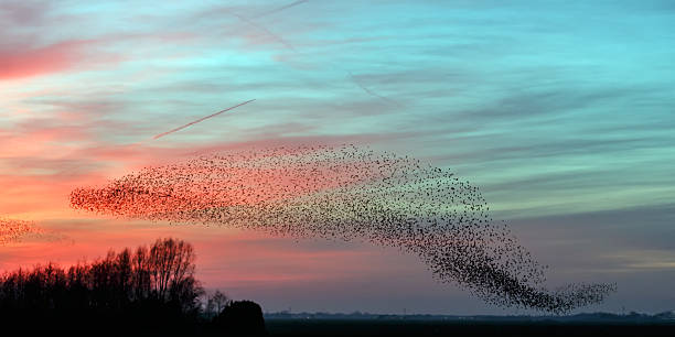 The Murmurations of Starlings Flight of the starlings in evening light flock of birds stock pictures, royalty-free photos & images