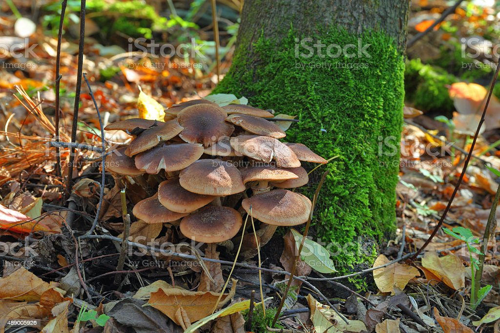 the mushroom amanita muscaria. stock photo