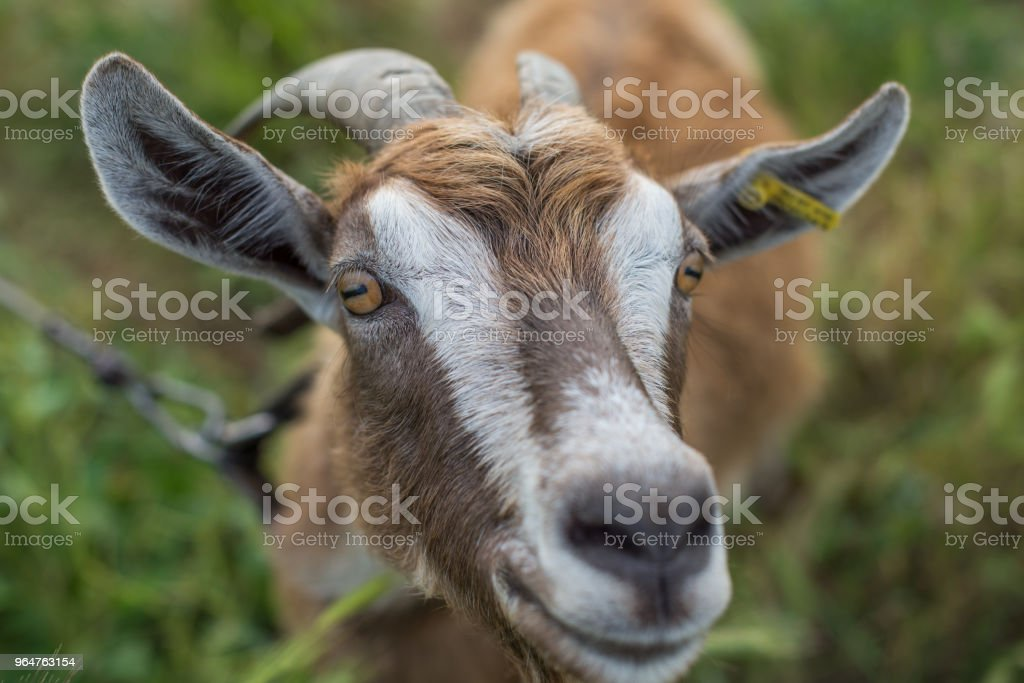 The muzzle is brown domestic goat. royalty-free stock photo