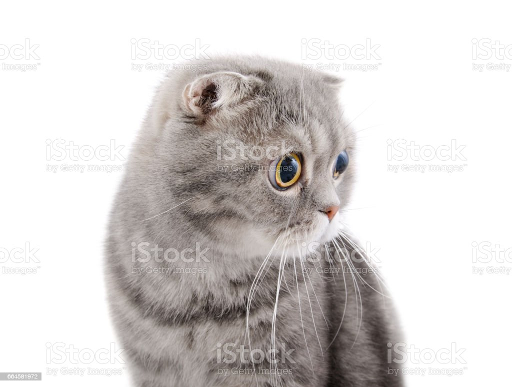 The muzzle of a beautiful gray cat breed Scottish Fold looking to the side. stock photo