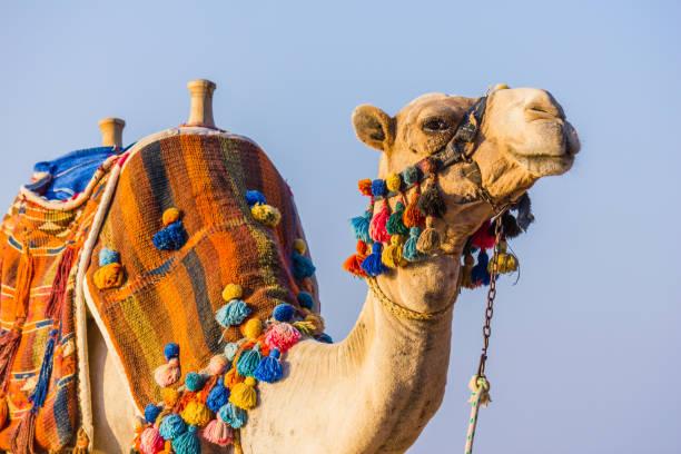 el hocico del camello africano - camello fotografías e imágenes de stock