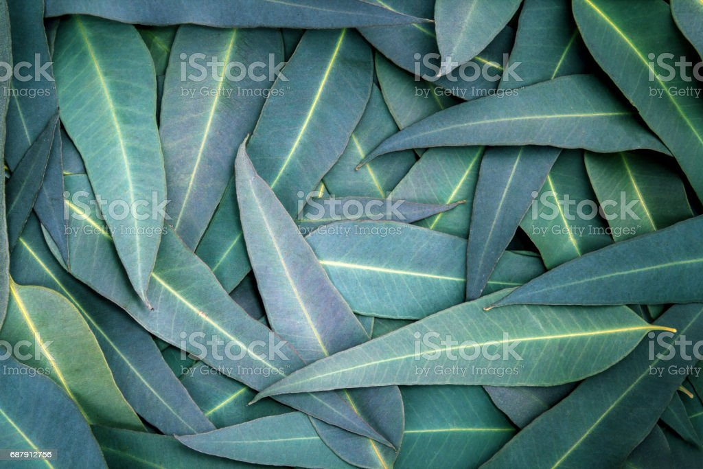 the Nature Eucalyptus leaves  background – Foto