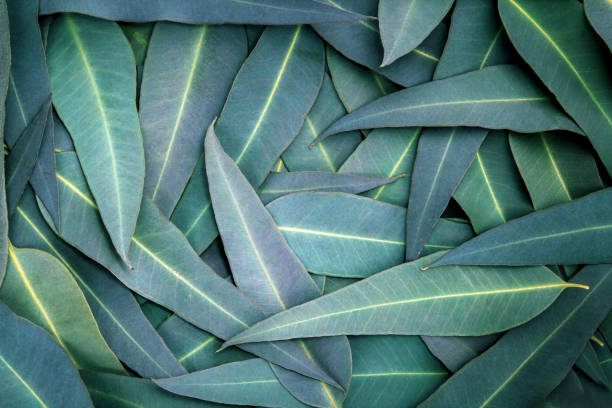 the Nature Eucalyptus leaves  background stock photo