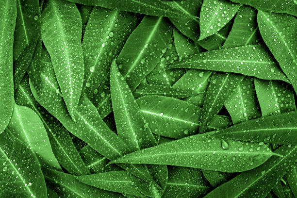 Die Natur-grünen Blätter Eukalyptus mit Regentropfen Hintergrund – Foto