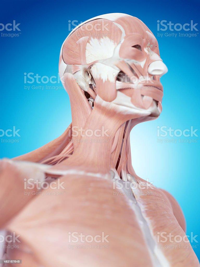 El Cuello Anatomía - Fotografía de stock y más imágenes de 2015 | iStock
