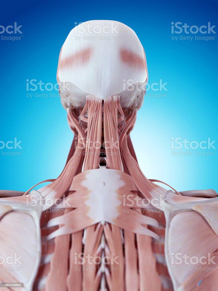 El Cuello Anatomía - Stock Foto e Imagen de Stock | iStock