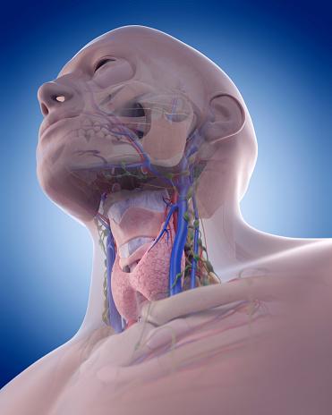 The Neck Anatomy Stock Photo - Download Image Now