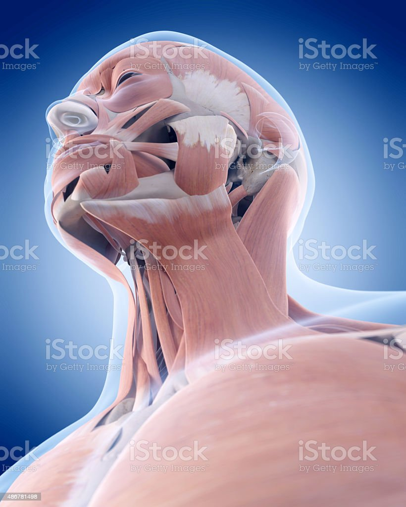 the neck muscles stock photo