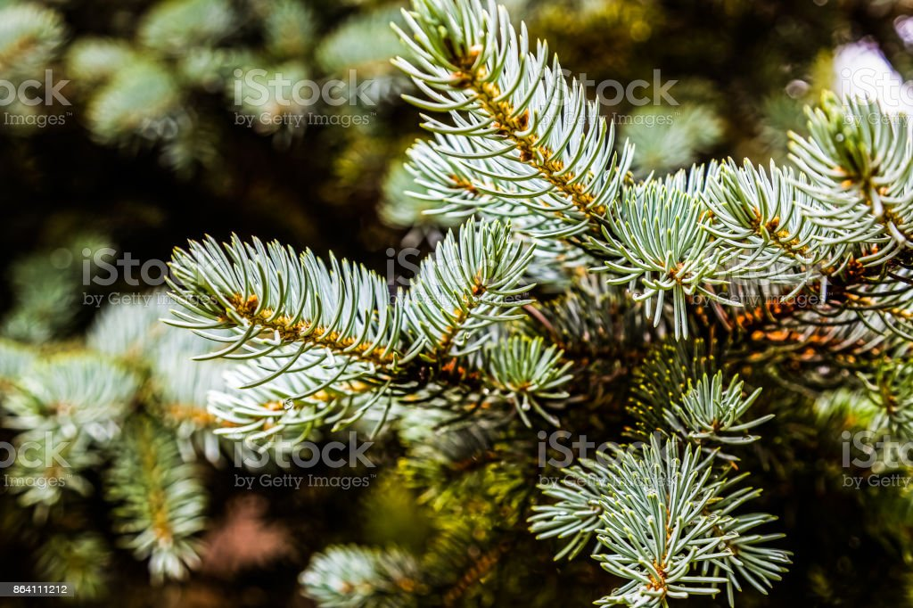 The needles grow on the tree royalty-free stock photo