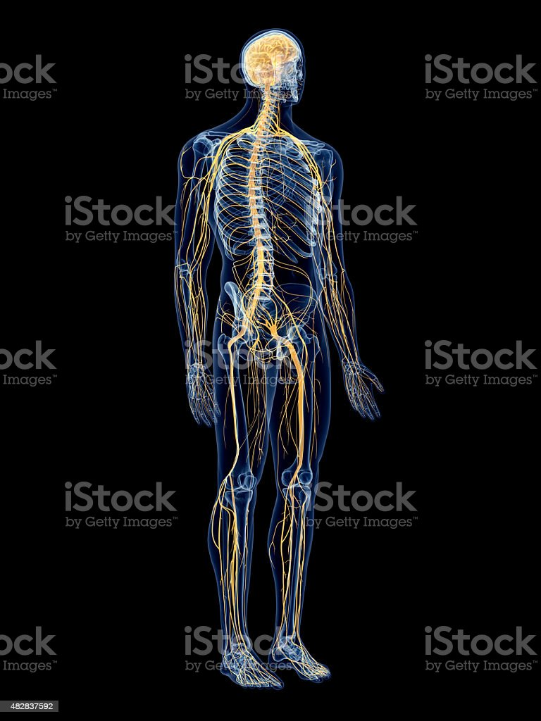 the nervous system stock photo